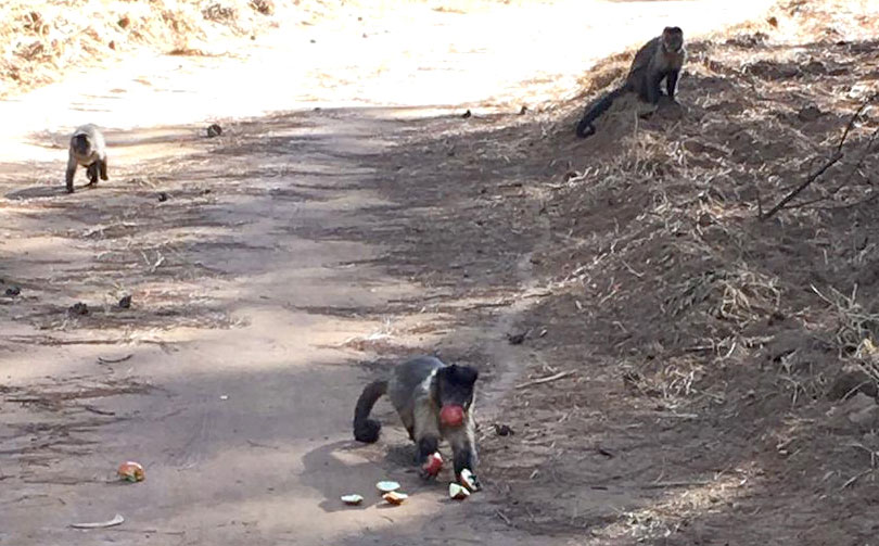 Macacos-prego-no-Horto-Florestal-01